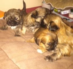 shih tzu breeders nj shih tzu puppies and dogs for sale