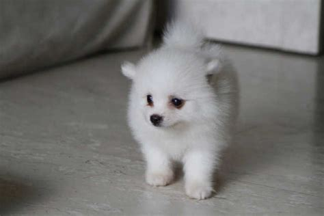 teacup pomeranian for adoption singapore baby pomeranians for free breeds picture