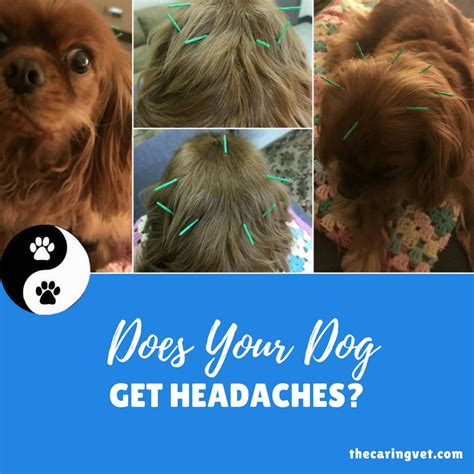 can dogs get headaches does your get headaches
