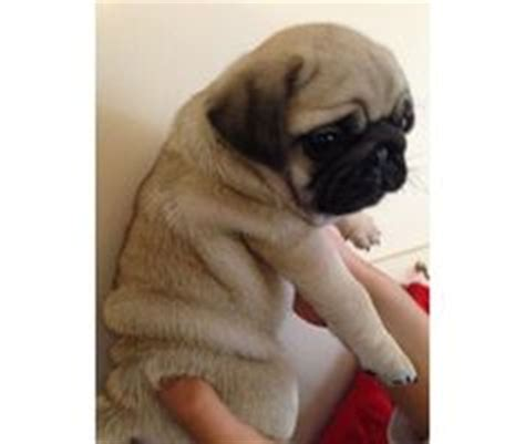 pug breeders jacksonville fl this pug puppies for sale 580 posted 26 days ago for sale dogs pug pictures that you