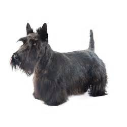 hair cuts for a scottish terrier hair cuts for a scottish terrier scottishdogs blog