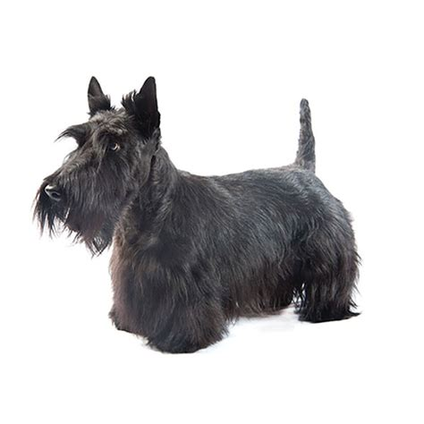 scottish yerrier haircuts scottish yerrier haircuts scottish terrier hairstyles