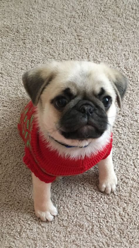 baby and pug puppies best 25 baby pugs ideas on baby pugs