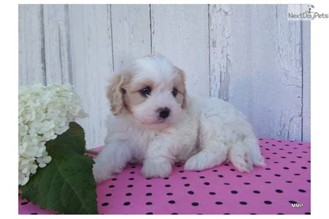 cavachon puppies ohio cavachon puppy for sale near akron canton ohio 37402dc1 6f91