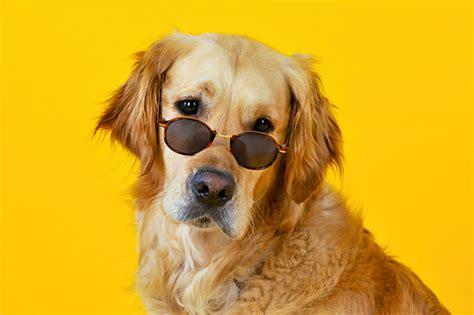 golden retriever wearing glasses glasses animal stock photos kimballstock