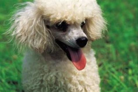 different poodle haircuts different standard poodle cuts
