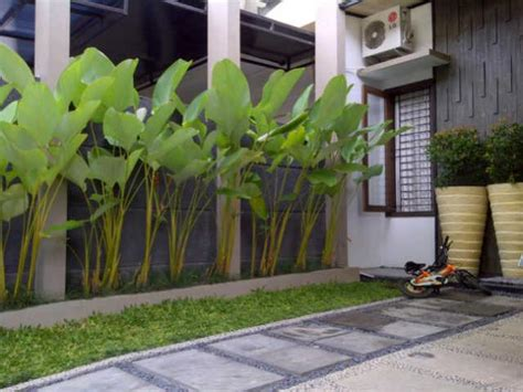 jual pohon pisang hias kalatea pisang calatea pisang