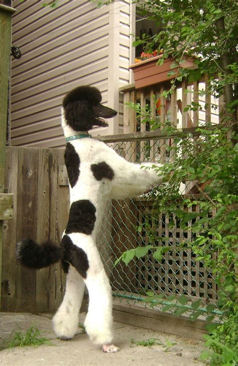 parti colored poodle 123 best the parti poodle images on