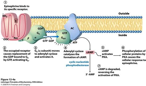 g protein activation steps 14 hormonal of metabolism at of