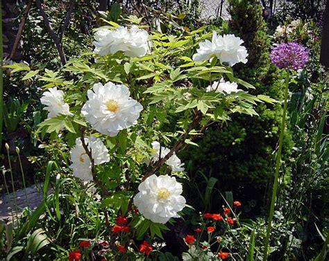 imagenes de rosas blancas para facebook fotos de rosas rojas y blancas de jardin photos of