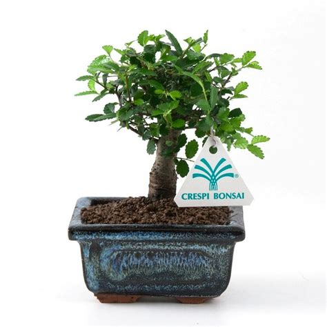 libro bonsai masterclass all you zelkova nire olmo cinese