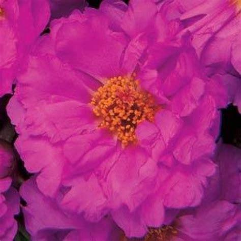 New Rosita Magenta moss happy hour rosita friends school plant sale