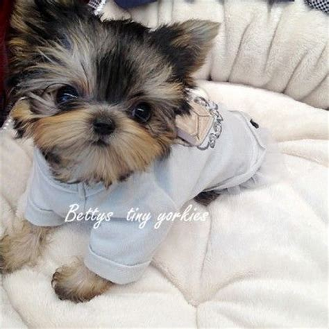 teacup yorkie diapers 25 best ideas about yorkie on terrier yorkie puppies