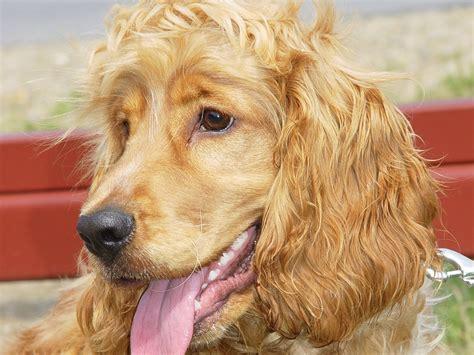 perros de raza cocker imagenes comportamiento de la raza cocker spaniel