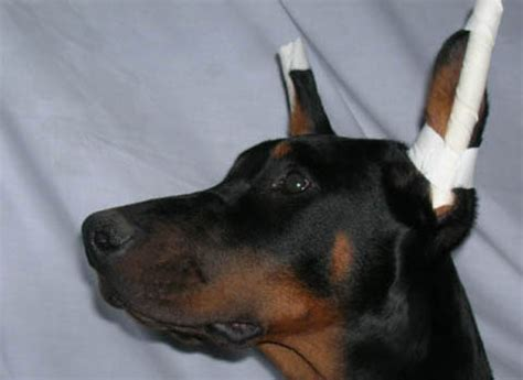 ear taping ear taping cropping methods in pictures docked tails rachael edwards
