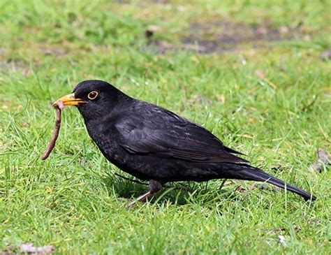 eurasian blackbird life expectancy