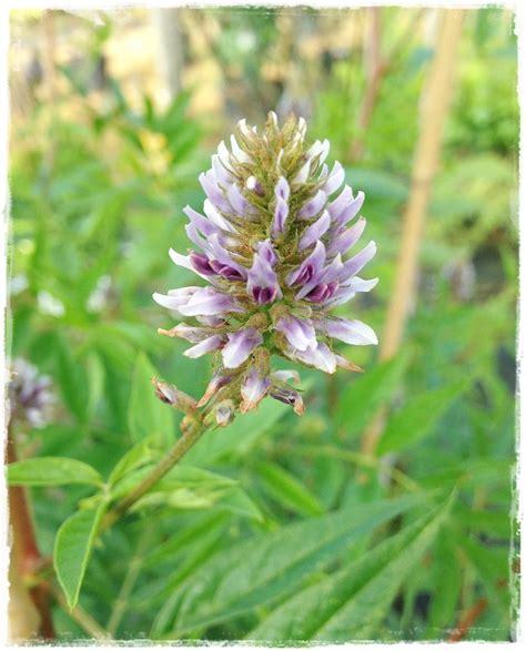 pianta di liquirizia in vaso liquirizia glycyrrhiza glabra vendita piante