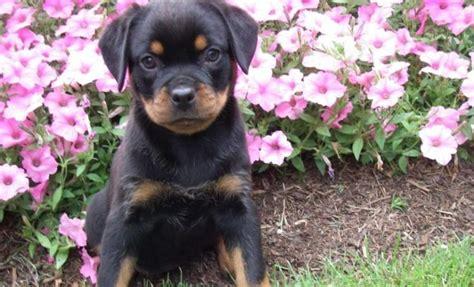 rottweiler tips for die besten 25 miniature rottweiler ideen auf wiener dogs baby dachshund