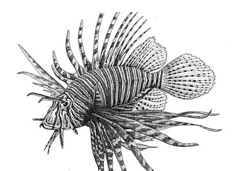 lionfish illustrations google search illustration