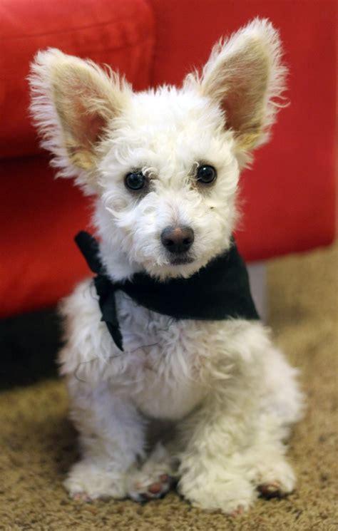 corgi poodle mix puppies for sale bichon poodle mix bichon poodle puppies for breeds picture