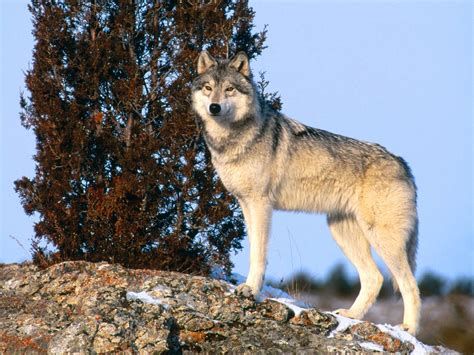 On Wolf gray wolf the animals kingdom