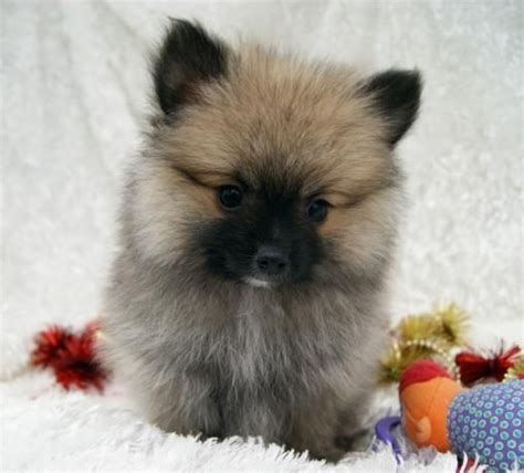 haired pomeranian puppies for sale 17 best images about pomeranians on pomeranian husky i want and cats fighting