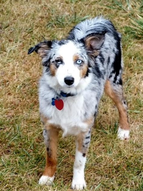 Do Australian Sheep Dogs Shed by Mini Aussies In Montana Breeds Picture