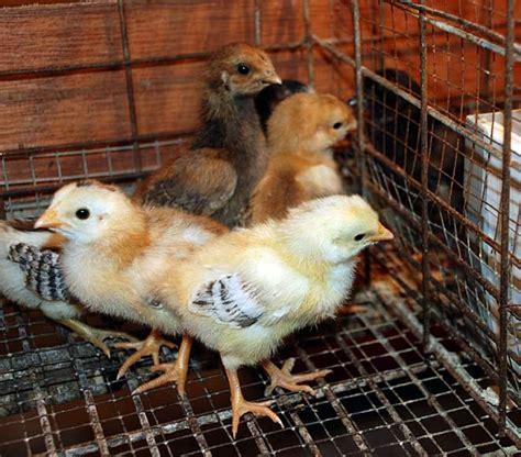 Bibit Doc Ayam Broiler sistem manajemen kesehatan ayam kung hobiternak