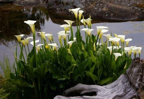 calle fiore significato calla significato dei fiori linguaggio dei