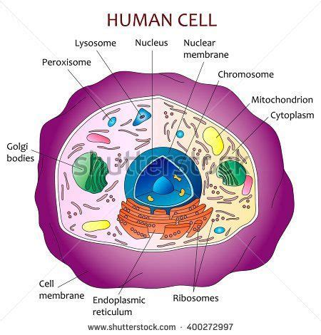 cross section of an animal cell labeled best 25 human cell diagram ideas on pinterest human