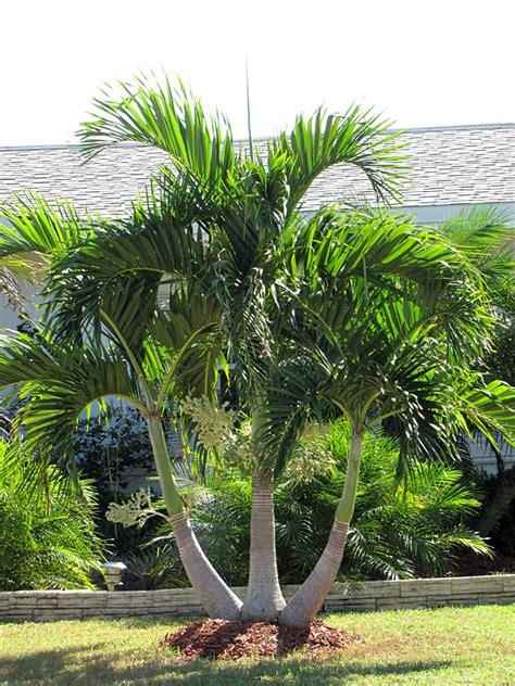 christmas palm tree adonidia merrillii kens nursery