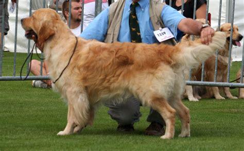 stanroph golden retrievers stanroph sailors swansong chien de race toutes races en tous departements