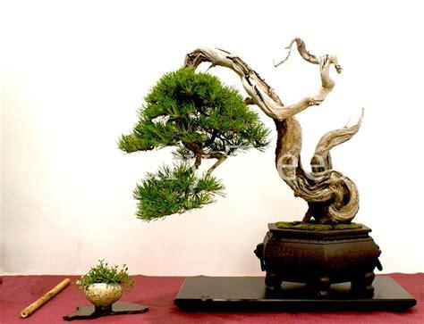 Pflege Bonsai 6380 by Pinus Mugo Bonsai 187 Luxurytrees 174 Deutschland