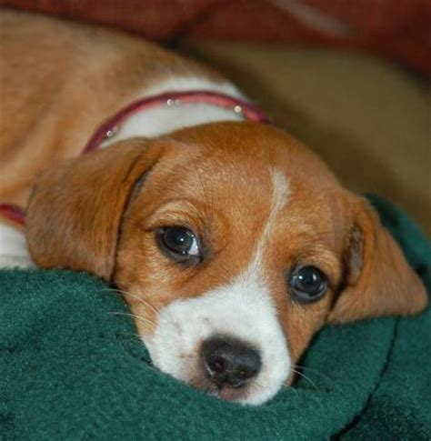 beagle puppies michigan beagle rat terrier mix m5x eu