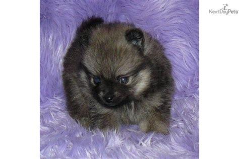 baby doll pomeranians pomeranian puppy for sale near springfield missouri de14c734 2bf1