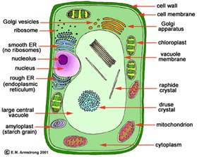 A Red Colored Root Vegetable - animal vs plant cells biology with valerie