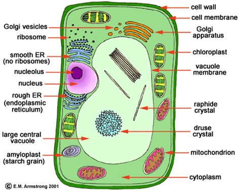 plant and animal cells diagram cells biology with valerie
