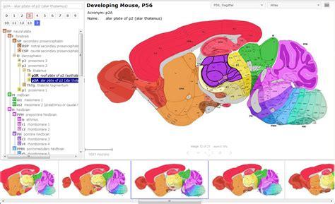 mouse brain coronal section allen developing mouse brain atlas allen reference atlas