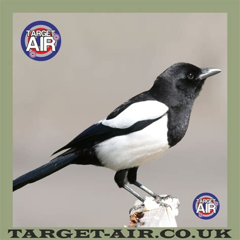 Printable Magpie Targets | animal magpie full colour airgun rimfire shooting targets