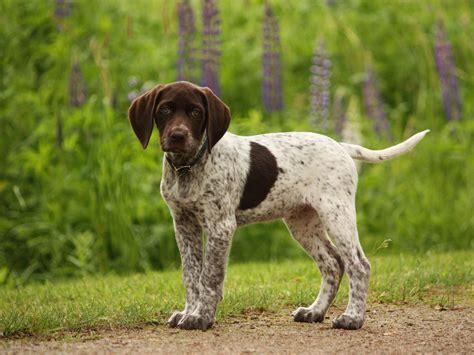 german shorthaired pointer puppies va german shorthaired pointer gsp s german