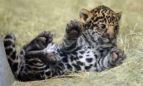 jaguar kitten san diego zoo s jaguar cub needs a name zooborns