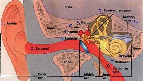 ear wax diagram human ear diagram with label coordstudenti