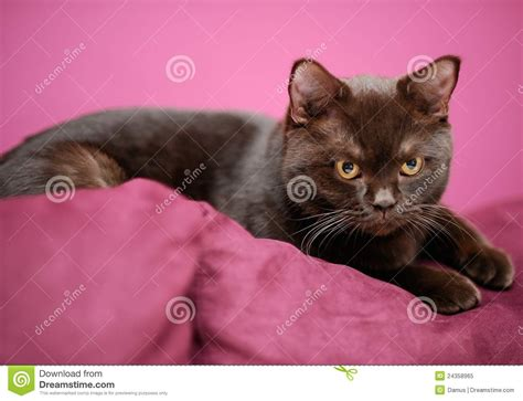 cat laying on the pillow royalty free stock photo image