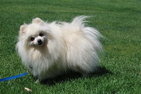 pomeranian uglies before after pictures pomeranian puppy uglies breeds picture breeds picture