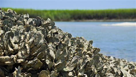 oyster beds digging up answers to the oyster problem