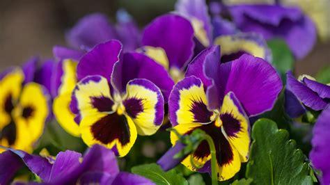 fiori eduli l elenco dei fiori commestibili puoi