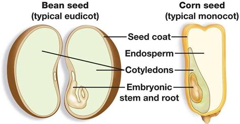 diagram of monocot seed 2 biology 303 with ogg at colorado school of mines