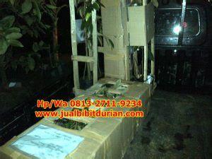 Jual Bibit Mangga Kiojay Di Surabaya murah hp wa 0813 2711 9234 jual bibit durian musang