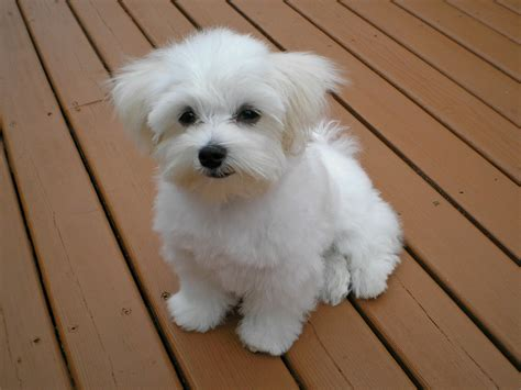free maltese puppies black teacup maltese puppies www pixshark images galleries with a bite