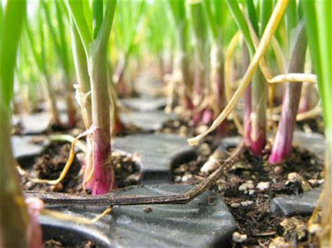 Bibit Bawang Merah Nasa belajar budidaya bawang merah
